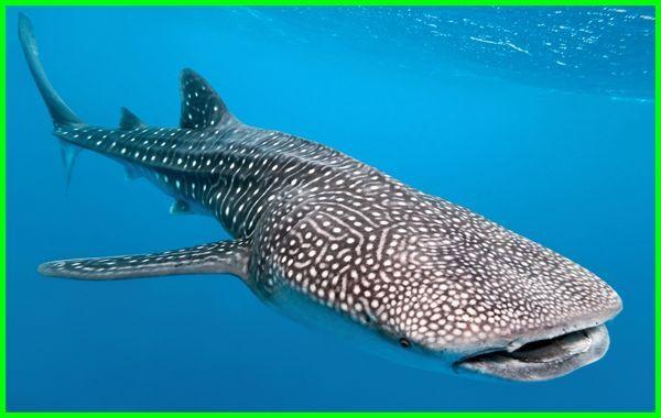hiu paus (whale shark), hiu paus indonesia, hiu paus artinya apa, tentang hiu paus, hiu paus tutul