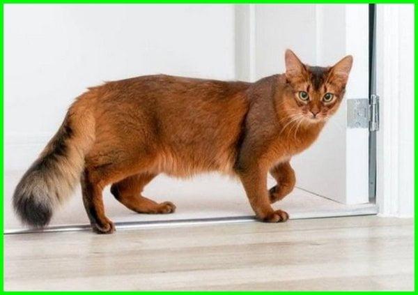 ras kucing somali, kucing mirip rubah, kucing somali harga, kucing somali di indonesia, jual kucing somali, kucing persia somali, kucing somalia, jenis kucing somali, harga kucing somali