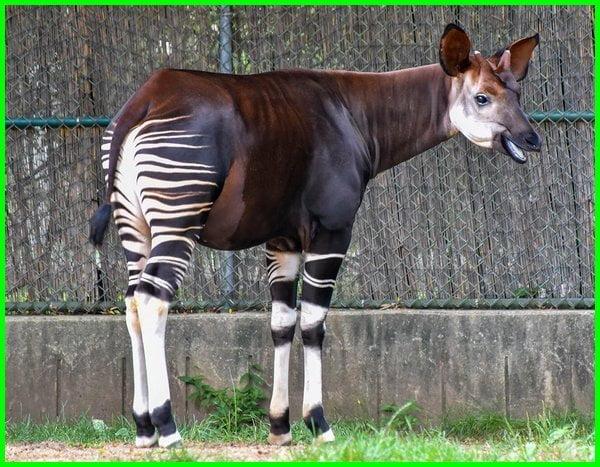 okapi adalah, okapi animal, picture of a okapi, hewan dari huruf o bahasa inggris, binatang dari huruf o bahasa inggris