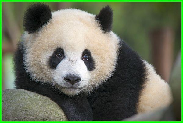 panda bahasa inggris, panda dalam bahasa inggris