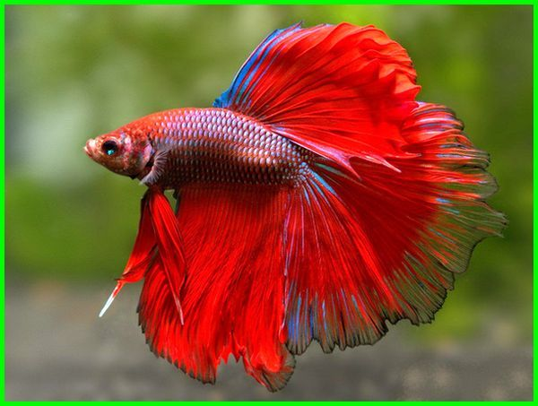 ikan cupang termahal 2021-2022, ikan cupang terbaru, foto ikan cupang termahal, ikan cupang yang paling mahal, ikan cupang termahal, cupang termahal dan terbagus, ikan cupang termahal di dunia, ikan cupang termahal dan terlangka, ikan cupang termahal dan tercantik di dunia, ikan cupang termahal di indonesia, ikan cupang yang mahal