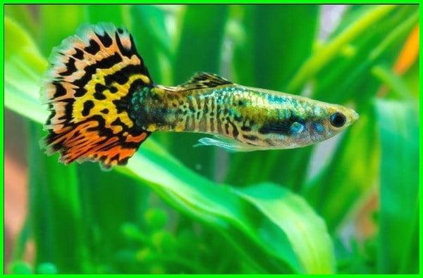 mengenal ikan guppy, ikan gapi, bentuk ikan guppy, sifat ikan guppy, deskripsi ikan guppy, makalah tentang ikan guppy, tentang ikan guppy hias, artikel tentang ikan guppy, fakta tentang ikan guppy, penjelasan tentang ikan guppy