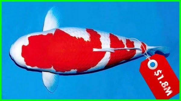 ikan hias air tawar termahal 2020-2021-2022-2023, ikan hias air tawar termahal di dunia, ikan hias air tawar termahal adalah, jenis ikan hias air tawar termahal, harga ikan hias air tawar termahal, ikan hias air tawar mahal, ikan hias air tawar yg mahal, daftar ikan hias air tawar termahal, 10 ikan hias air tawar termahal di dunia, ikan hias air tawar harga mahal, gambar jenis ikan hias air tawar termahal, ikan hias air tawar yang mahal
