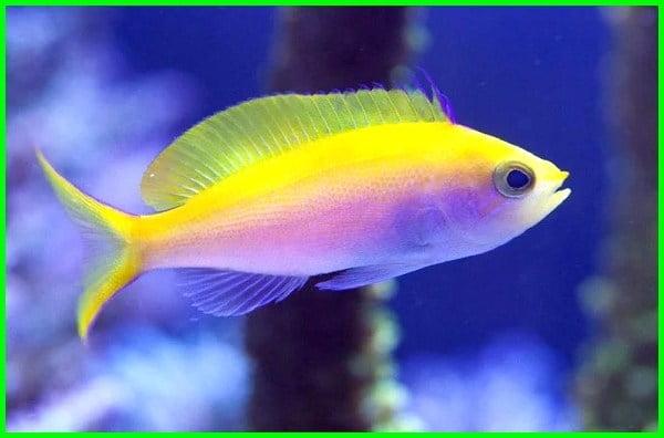 ikan hias air laut paling mahal, ikan hias air laut yang mahal, ikan hias air laut termahal, ikan hias air laut termahal di dunia, ikan hias air laut termahal di indonesia, ikan hias dari laut, ikan laut mahal, ikan hias laut termahal, ikan hias laut termahal di dunia