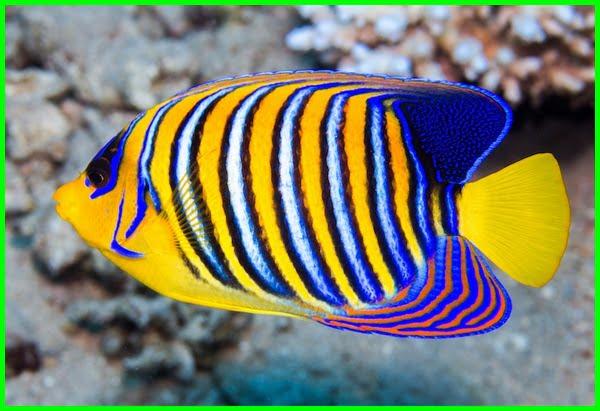 ikan cantik laut, ikan cantik air laut, ikan cantik cantik, ikan cantik di laut, gambar ikan cantik dan lucu, gambar ikan cantik di laut, foto ikan cantik ,foto ikan cantik dan unik, gambar ikan cantik, ikan hiasan cantik