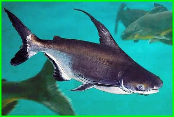 ikan hias yang bisa besar, ikan hias aquarium besar, ikan hias yang bisa tumbuh besar, ikan hias besar untuk aquarium, ikan hias ukuran besar, ikan hias yang besar, ikan hias yg bisa besar, ikan hias di akuarium besar, ikan hias besar air tawar