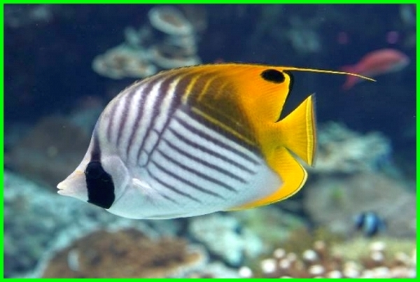 ikan cantik di laut, foto ikan tercantik di dunia, foto ikan tercantik ikan hias tercantik di dunia, ikan hiasan tercantik, ikan hias tercantik adalah, jenis ikan tercantik di dunia, jenis ikan tercantik, ikan laut tercantik, ikan laut tercantik di dunia, ikan cantik laut, ikan paling cantik, ikan paling cantik di dunia