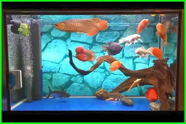 ikan yang cocok dengan arwana, ikan yang bisa disatukan dengan arwana, ikan yang cocok dengan ikan arwana, ikan arwana digabung, ikan pendamping arwana, ikan yang bisa digabung arwana, apakah ikan arwana bisa digabung, ikan yang bisa digabung dengan arwana, ikan yang bisa dicampur arwana, ikan yang bisa dicampur dengan ikan arwana, ikan arwana disatukan dengan ikan lain, ikan yang bisa di gabung dengan arwana, ikan arwana dicampur, ikan arwana dicampur louhan, ikan yang cocok sama arwana, ikan yang cocok untuk menemani arwana