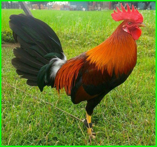 jenis ayam filipina yang bagus, jenis ayam aduan, jenis ayam petarung, jenis ayam aduan modern, jenis ayam aduan silangan, jenis ayam aduan terbaik 2020-2021-2022-2023, jenis ayam jago