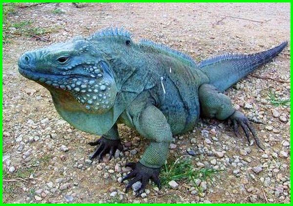iguana biru, iguana biru besar, iguana warna biru, iguana biru jumbo, iguana biru tosca, iguana biru tokopedia, ukuran iguana biru, warnanya iguana biru, jenis iguana biru, iguana biru jual, harga iguana green biru, foto iguana biru
