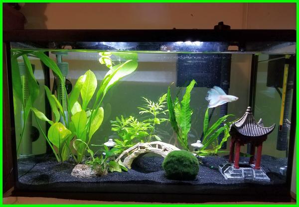 aquarium ikan cupang, aquarium cupang, aquarium ikan cupang minimalis, aquarium cupang hias, aquarium cupang unik, cara membuat aquarium ikan cupang, aquarium mini ikan cupang, aquarium cupang keren, aquarium ikan cupang hias, aquarium mini cupang, ikan cupang di akuarium