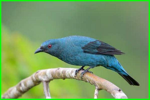 cucak biru betina, cucak biru jantan dan betina, burung cucak biru betina, perbedaan cucak biru jantan dan betina, cucak gadung betina, suara cucak biru betina, burung cucak biru jantan dan betina, harga cucak biru betina, cucak gadung jantan dan betina, harga burung cucak biru betina