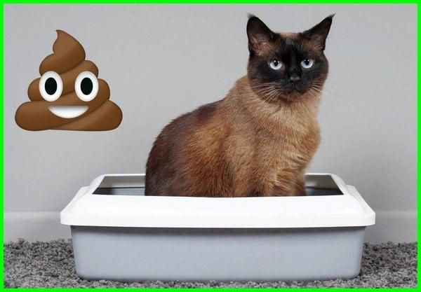 cara mengatasi kucing mencret, cara mengobati anak kucing mencret secara alami, cara mengobati kucing mencret, cara mengobati kucing yg bab berdarah, diare pada kucing, kenapa kucing diare, kenapa kucing mencret dan apa obatnya, kenapa kucing mencret dan muntah, kenapa kucing mencret dan tidak mau makan, kenapa kucing mencret terus, kenapa kucing pup nya mencret