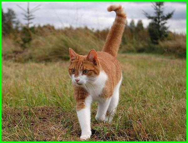 Kucing tabby spotted dua warna