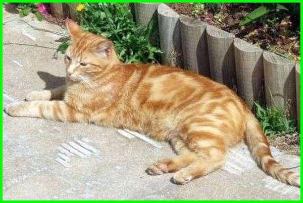pola dan corak warna kucing oren