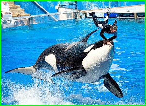 apa itu paus pembunuh, apakah paus orca membunuh manusia, fakta paus pembunuh, film paus pembunuh, gambar paus pembunuh, ikan paus pembunuh, kenapa disebut paus pembunuh, kenapa orca disebut paus pembunuh, mancing paus pembunuh, mengapa paus orca disebut paus pembunuh, orca paus pembunuh