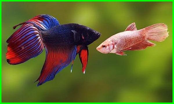 cara membedakan ikan cupang jantan dan betina, perbedaan cupang jantan dan betina, ciri ciri ikan cupang betina, membedakan cupang jantan dan betina, cara membedakan cupang jantan dan betina, perbedaan ikan cupang jantan dan betina, ciri ciri cupang betina siap kawin, beda cupang jantan dan betina, ciri ciri cupang betina, ciri ciri ikan cupang betina hamil, ciri ciri ikan cupang jantan siap kawin, cara bedain cupang jantan dan betina