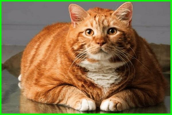 cara bikin kucing gemuk, cara buat kucing gemuk, cara membuat kucing gemuk, cara membuat makanan kucing agar cepat gemuk, cara menggemukkan kucing kampung, makan kucing biar cepat gemuk, makan penggemuk kucing, makanan agar kucing gemuk dan bulu lebat, makanan kucing agar gemuk, makanan kucing biar gemuk, makanan kucing cepat gemuk, agar kucing cepat gemuk