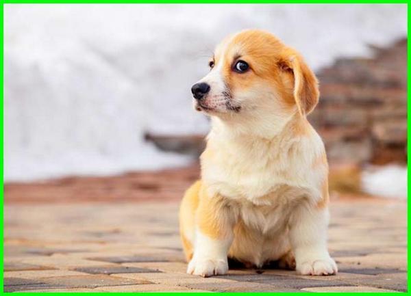 pertumbuhan anjing, pertumbuhan anjing golden retriever, gambar pertumbuhan anjing, pertumbuhan anak anjing, tahap pertumbuhan anjing, masa pertumbuhan anjing, perkembangan anak anjing, perkembangan anak anjing dari lahir