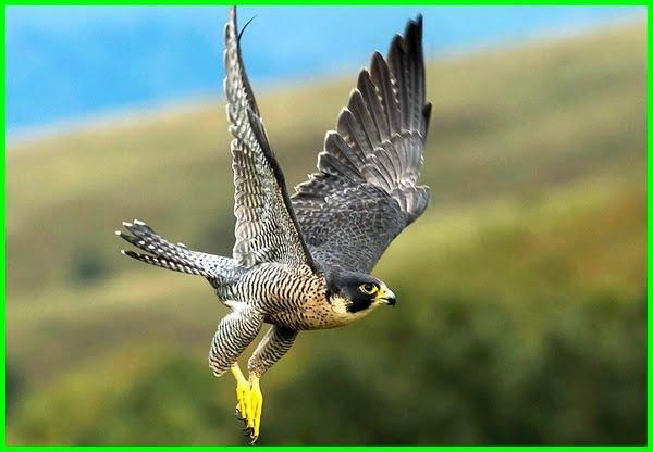 hewan tercepat, hewan tercepat di udara, 5 hewan tercepat di dunia, hewan udara tercepat di dunia, burung tercepat di udara, hewan udara tercepat, kecepatan burung falcon, burung tercepat, burung tercepat di dunia, burung yang tercepat, burung lari tercepat, burung terbang tercepat di dunia