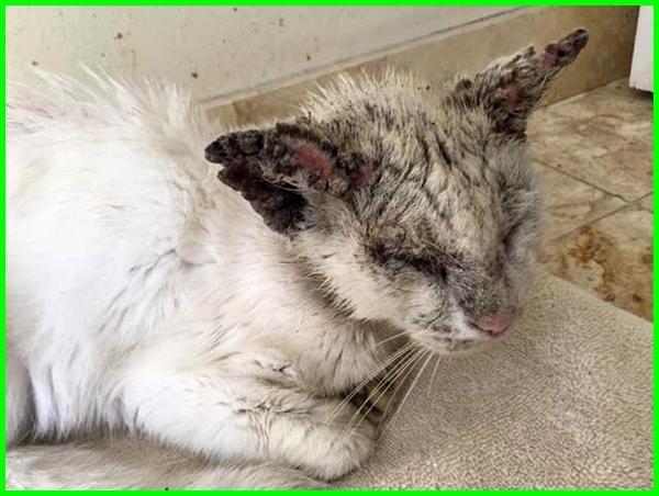 cara mengobati scabies pada kucing, mengobati scabies kucing, cara menghilangkan scabies pada kucing, cara mengobati kucing scabies, cara mengobati scabies kucing, mengobati kucing scabies, cara mengatasi scabies pada kucing, scabies adalah kucing, scabies pada kucing adalah, mengobati scabies pada kucing, mengatasi scabies pada kucing, cara menghilangkan scabies kucing, menghilangkan scabies pada kucing, menghilangkan scabies kucing, kucing scabies