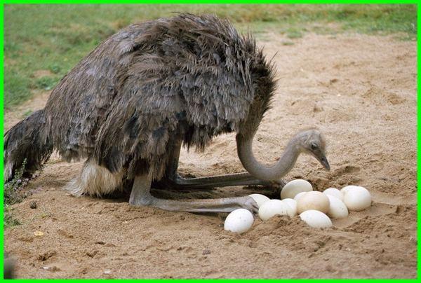 burung unta, burung unta bertelur, gambar burung unta, burung unta bahasa inggris, foto burung unta, burung unta telur, burung unta makan apa, burung unta termasuk hewan, burung unta dalam bahasa inggris, burung unta ostrich, burung unta bertelur, ayam unta