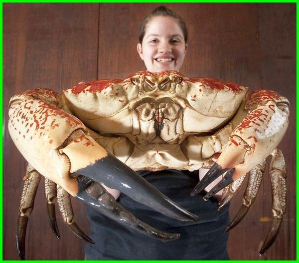 kepiting terbesar di dunia, gambar kepiting terbesar, makan kepiting terbesar, penangkapan kepiting terbesar, kepiting laut terbesar, kepiting raksasa terbesar, gambar kepiting terbesar di dunia, jenis kepiting terbesar di dunia