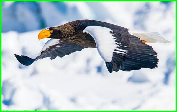 elang terbesar di dunia, burung elang terbesar di dunia, burung elang terbesar, jenis elang terbesar, jenis elang terbesar di dunia, elang paling besar