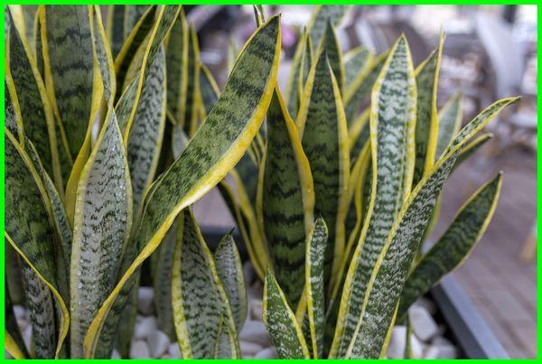 tanaman anti ular, cara mengusir ular dari kebun, cara mengusir ular di kebun, tanaman yg tidak disukai ular, tumbuhan pengusir ular, tanaman ditakuti ular
