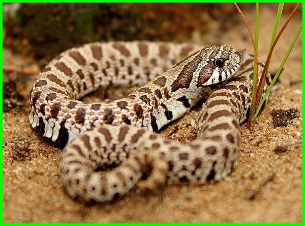ular peliharaan, ular untuk pemula, ular peliharaan untuk pemula, ular peliharaan jinak, ular kecil untuk peliharaan, rekomendasi ular peliharaan, contoh ular peliharaan, apakah ular peliharaan, jenis ular peliharaan bagi pemula, daftar ular peliharaan