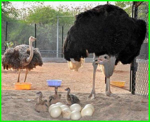 ternak burung unta, peternakan burung unta, ternak burung unta di indonesia, peternak burung unta di indonesia, ternak burung unta di jawa barat