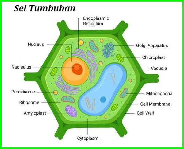 perbedaan sel hewan dan sel tumbuhan, gambarkan sel tumbuhan, bagian sel yang dimiliki oleh sel tumbuhan dan sel hewan adalah, gambaran sel hewan dan tumbuhan, sel hewan dan sel tumbuhan, perbedaan sel tumbuhan dan sel hewan, gambaran sel hewan dan sel tumbuhan, sel tumbuhan dan sel hewan, sel tumbuhan dan sel hewan memiliki perbedaan walaupun secara umum organelnya sama perbedaannya antara lain