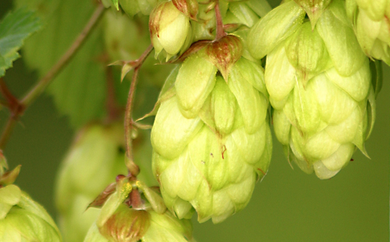 Understanding beer and hop bitterness basics