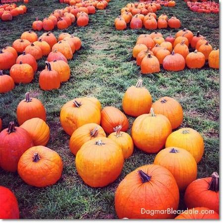 pumpkin patch full of pumpkins
