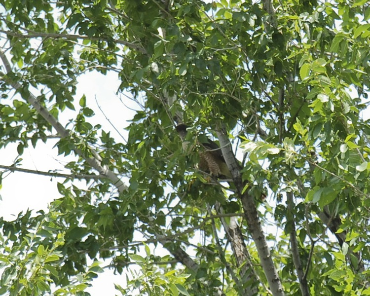 Coopers Hawk in Tree (look closely)