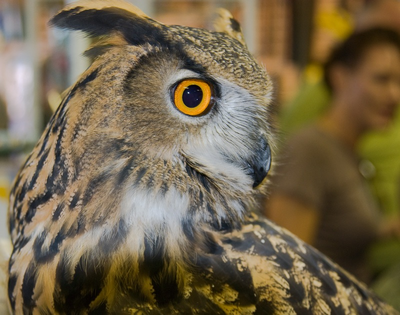 Owl Side View