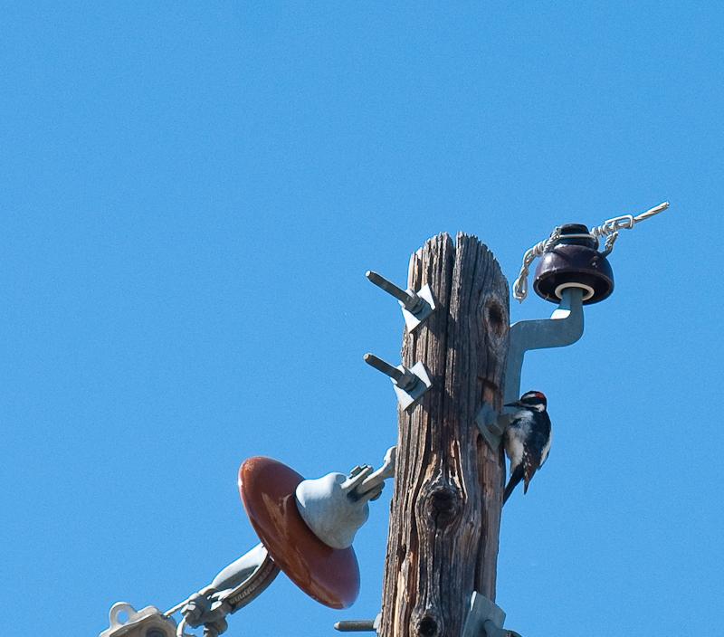 Woodpecker on Utility Pole
