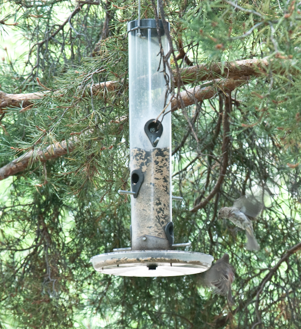 Two Finches in Flight at Feeder