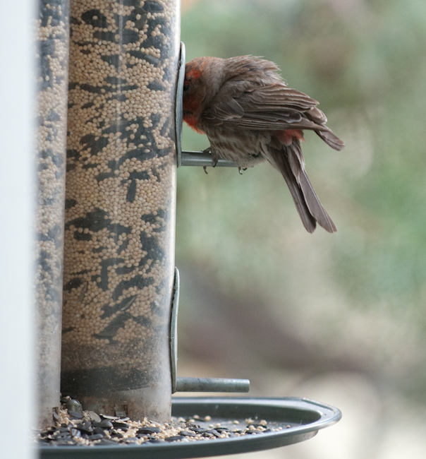 Finch with Head in Feeder