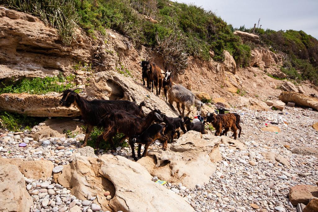 Biquettes sur la plage de Taghazout.