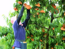 恋するジャージーPremium今井農園のおかやま清水白桃