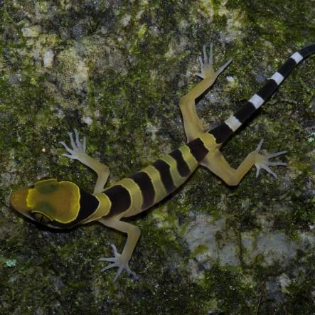 Bingtangting gecko
