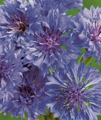 Grow a Blue Garden: Cornflower Blue Boy