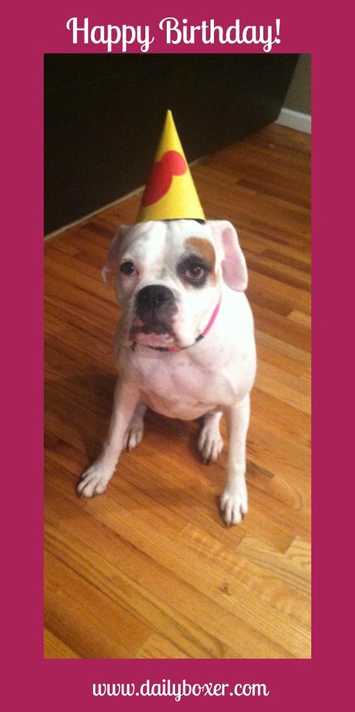 Boxer Dog Birthdays The Daily Boxer