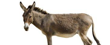 Donkey [Shutterstock - Coprid]
