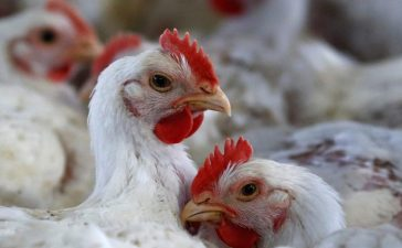 Chicken are pictured at a poultry factory in Lapa city, Parana state, Brazil, May 31, 2016. REUTERS/Rodolfo Buhrer - RTX2FFRQ