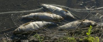 Dead fish on the river. Contamination by pollution (Shutterstock/Nikolay Gyngazov)