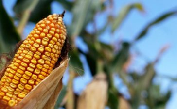 FILE PHOTO: Corn is seen in a field in Indiana, U.S. September 6, 2016. To match USA-BIOFUELS/VALERO REUTERS/Jim Young/File Photo