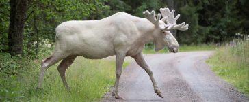 Reuters/ A rare white moose is seen in Gunnarskog, Varmland, Sweden July 31, 2017.