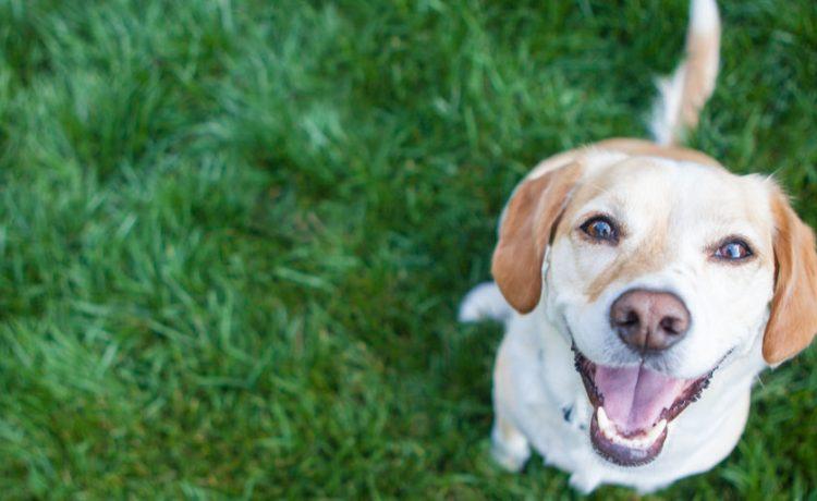 Dog playing outside smiles (Shutterstock/ InBetweentheBlinks)